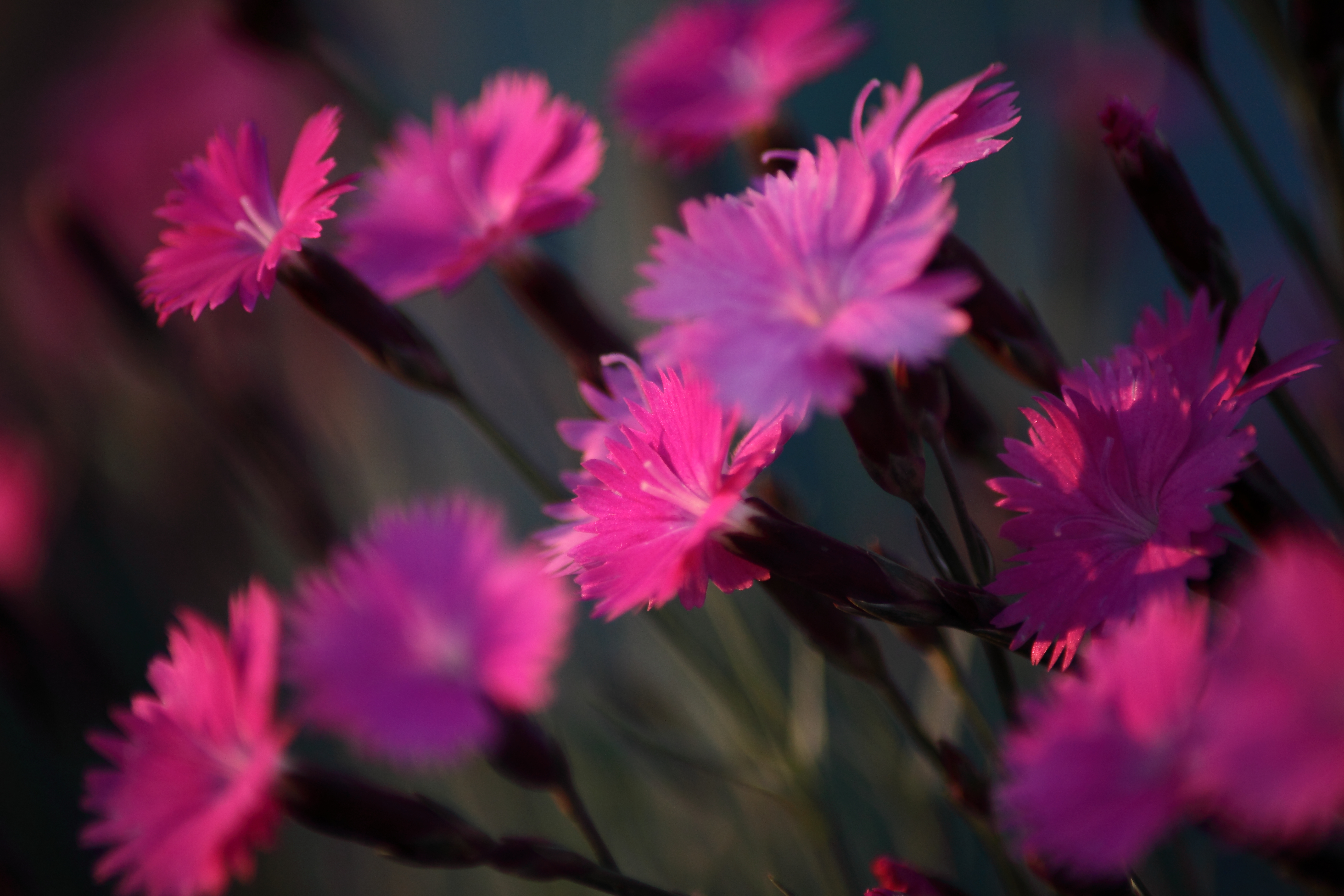 Dianthus Burning Witch Macro Flower Spring Flowers Nature 5616x3744
