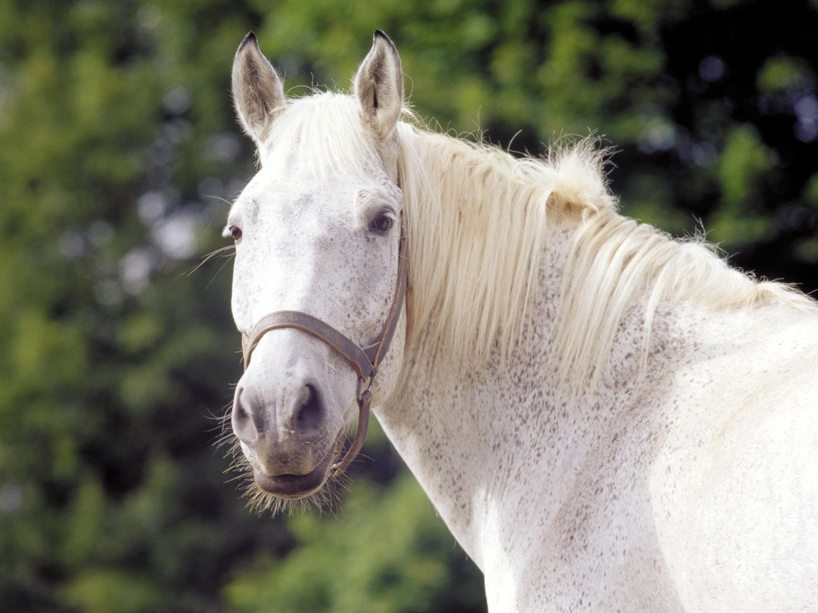 Close up of a white horse desktop wallpaper 1600x1200