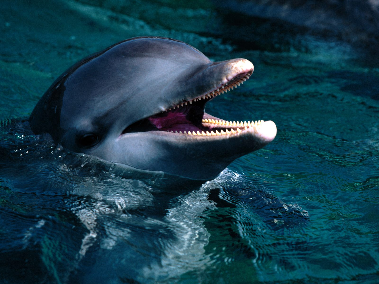 Dolphin Wallpaper Dolphin Wallpaper Screensavers Pictures 1600x1200