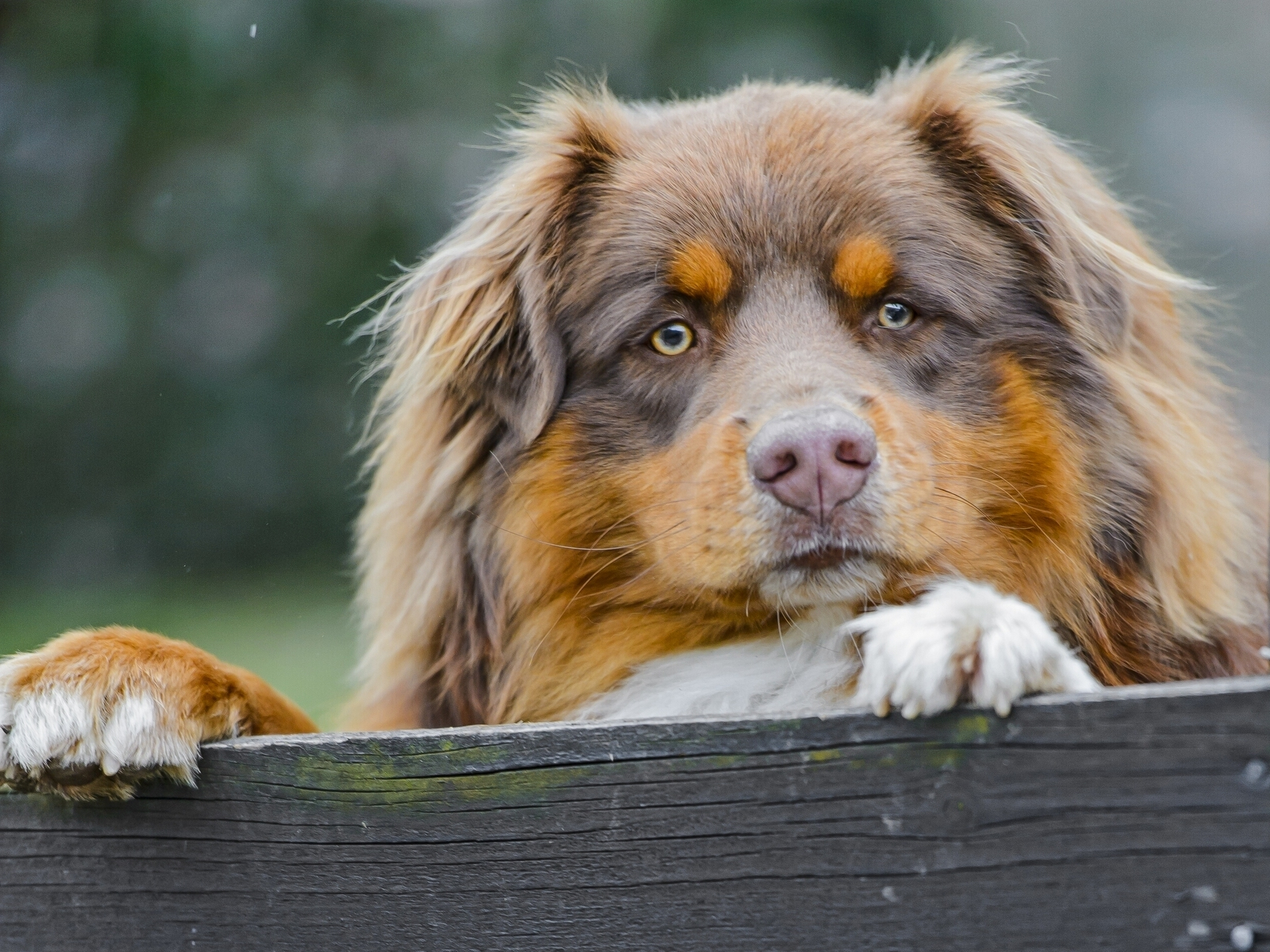 Australian Shepherd secure area wallpapers and images   wallpapers 1920x1440