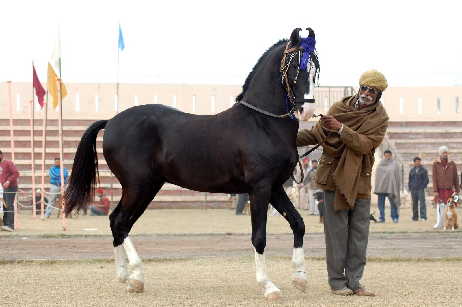 Marwari horse indigenous horses of india June 2010 1600x1064