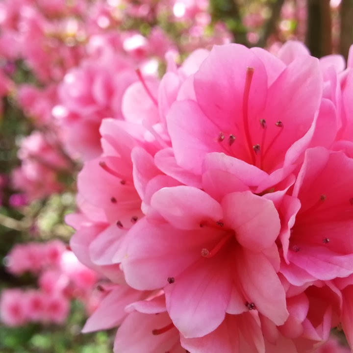 These are the bright pink azaleas that as you can see below turned a 720x720