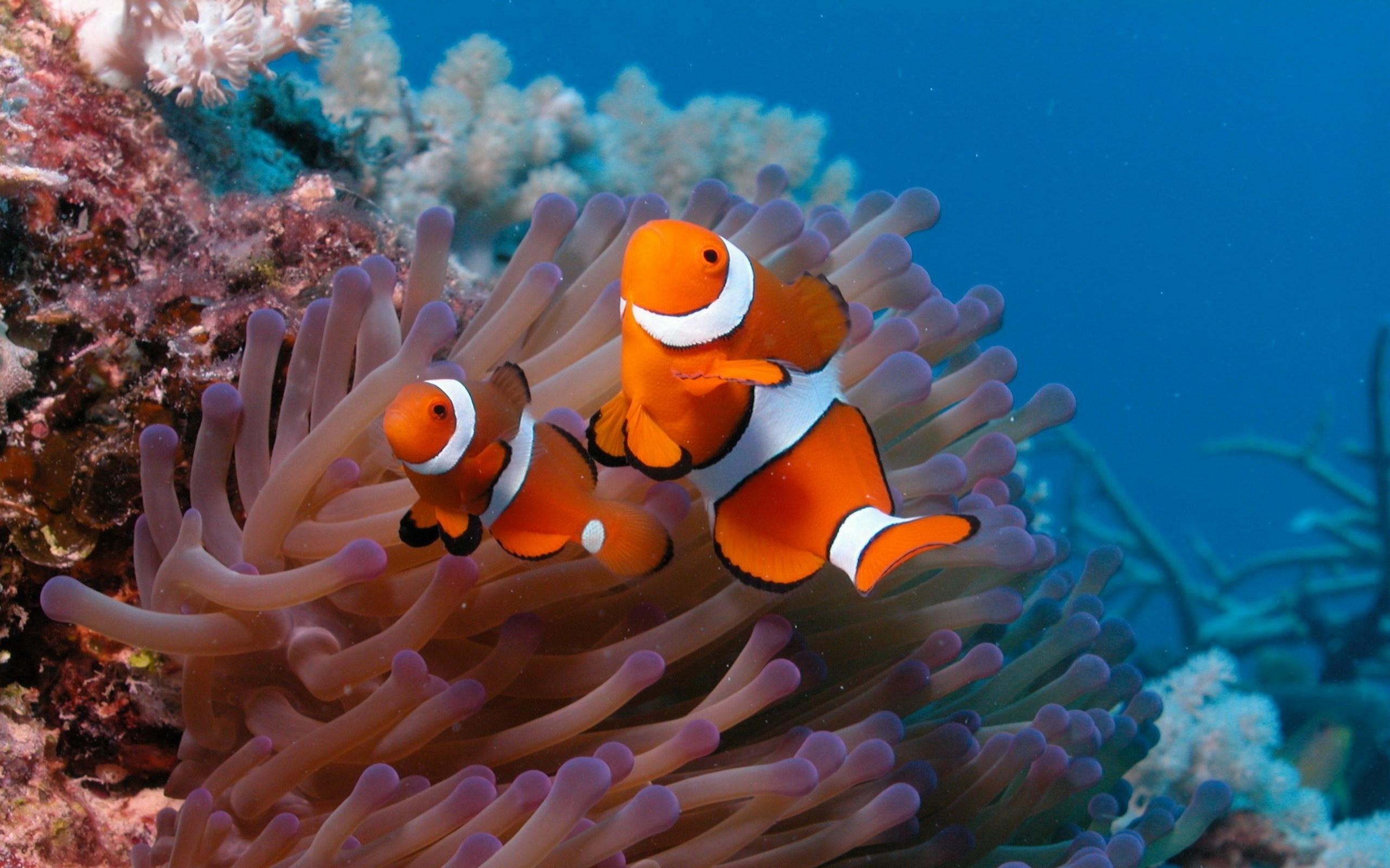 Fish clownfish coral reef HD Wallpapers 2560x1600