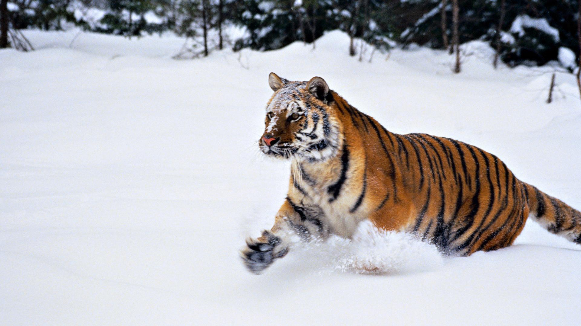 Animals Tiger Snow Wallpapers Hd Desktop And Mobile: Snow Tiger Wallpaper