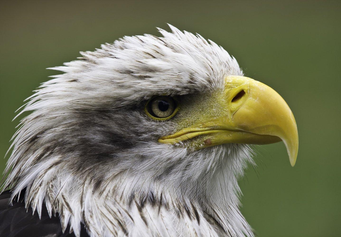 American Bald Eagle wallpaper   ForWallpapercom 1437x1000