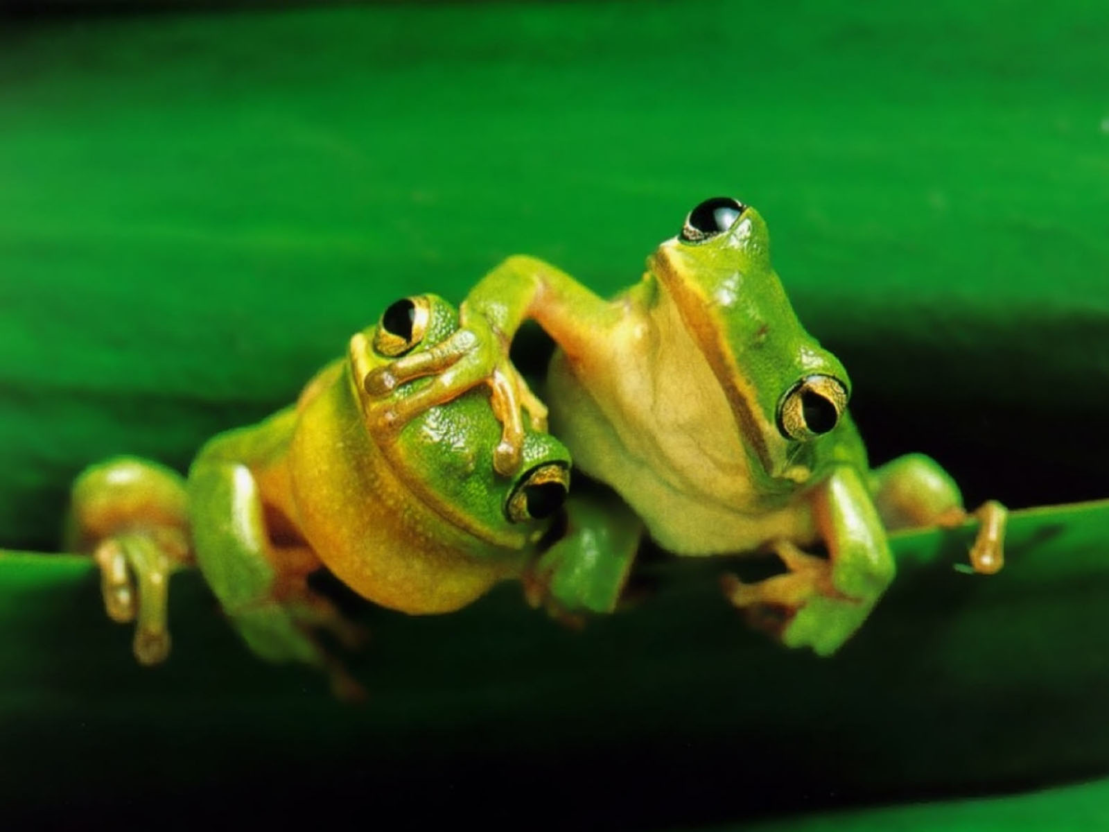 Cute Frogs Pictures Funny frogs wallpapers 1600x1200