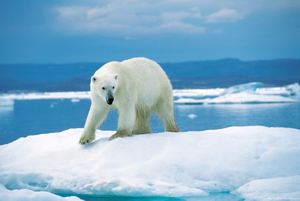 1200x804px Polar Bear Desktop Wallpaper Wallpapersafari