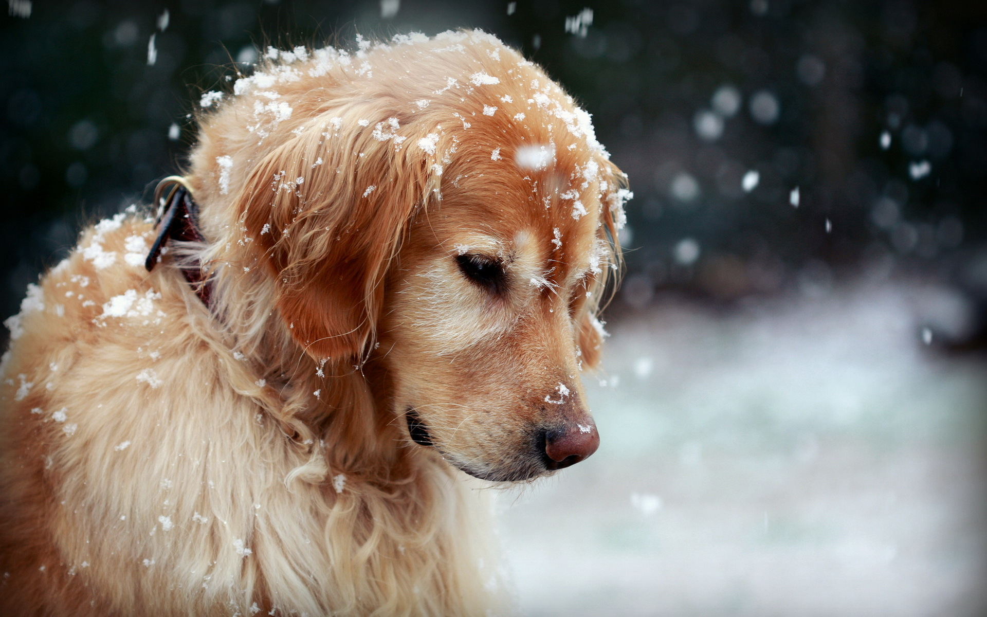 dog winter snow wallpaper background 1920x1200
