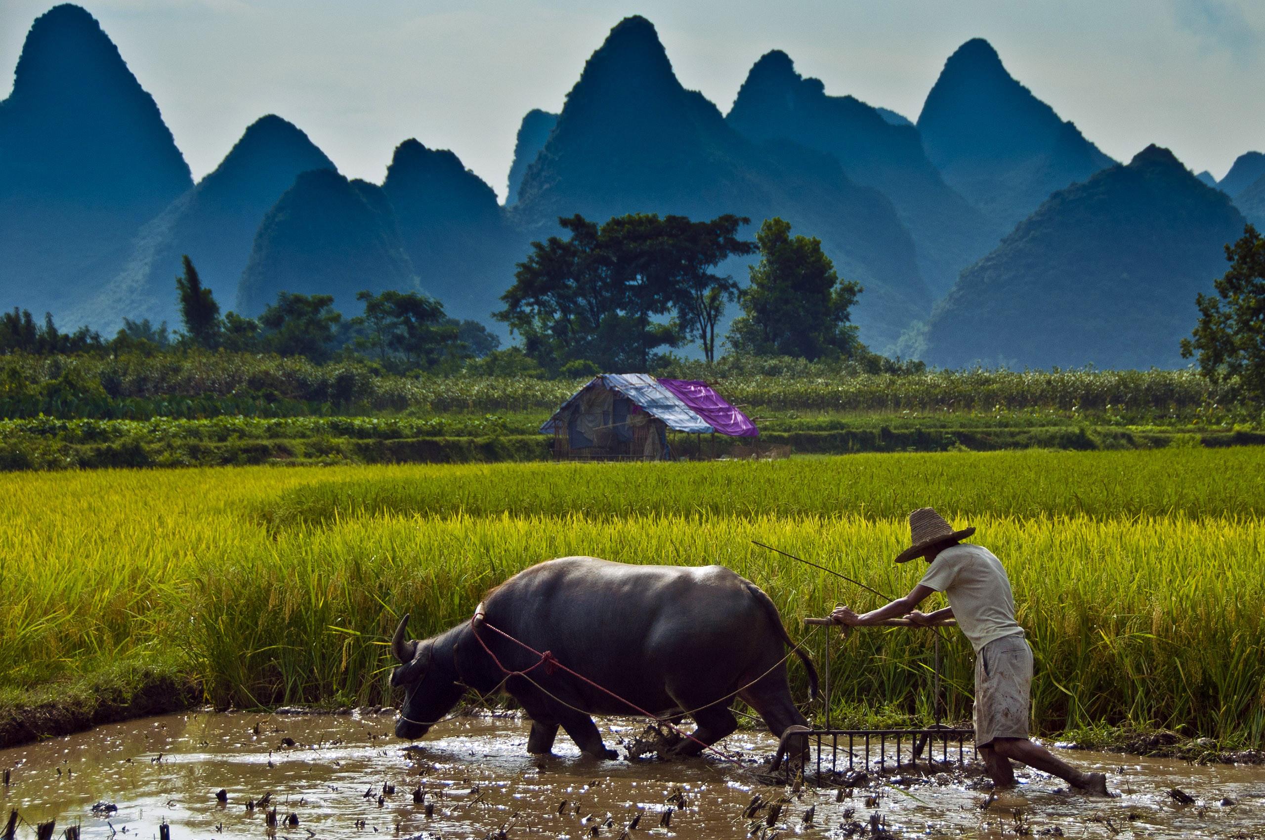 paddy farmers water buffaloes man landscape fields photo 2560x1700