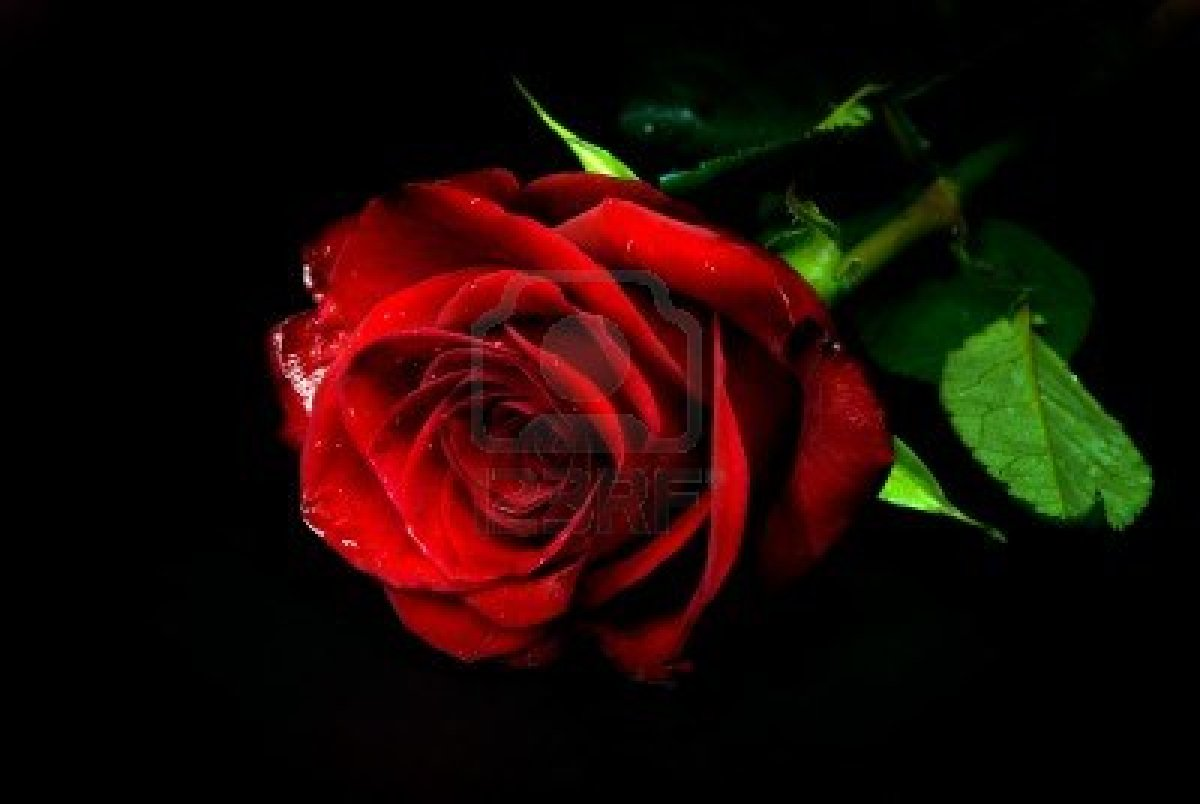 Gallery For gt Single Red Rose Black And White Background 1200x804