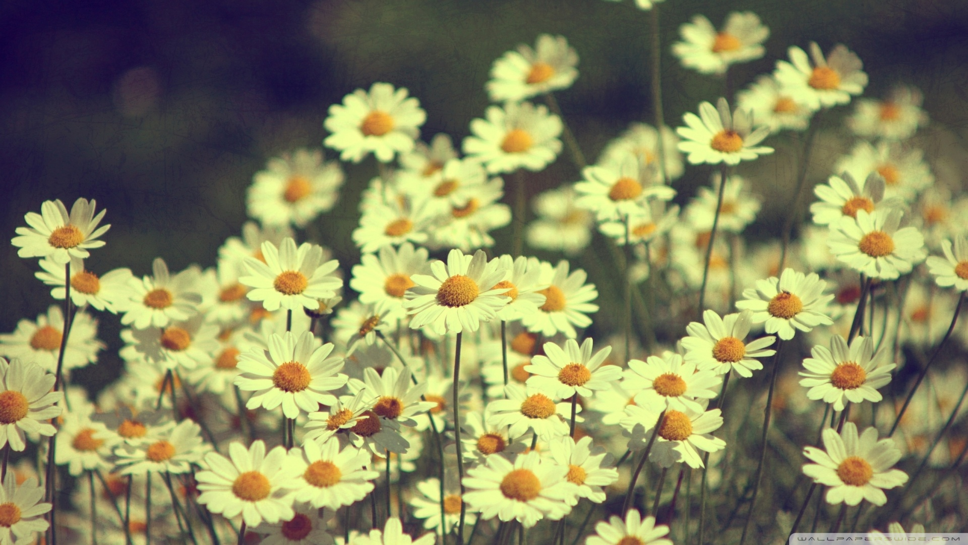 Vintage Daisies Photography Wallpaper 1920x1080 Vintage Daisies 1920x1080