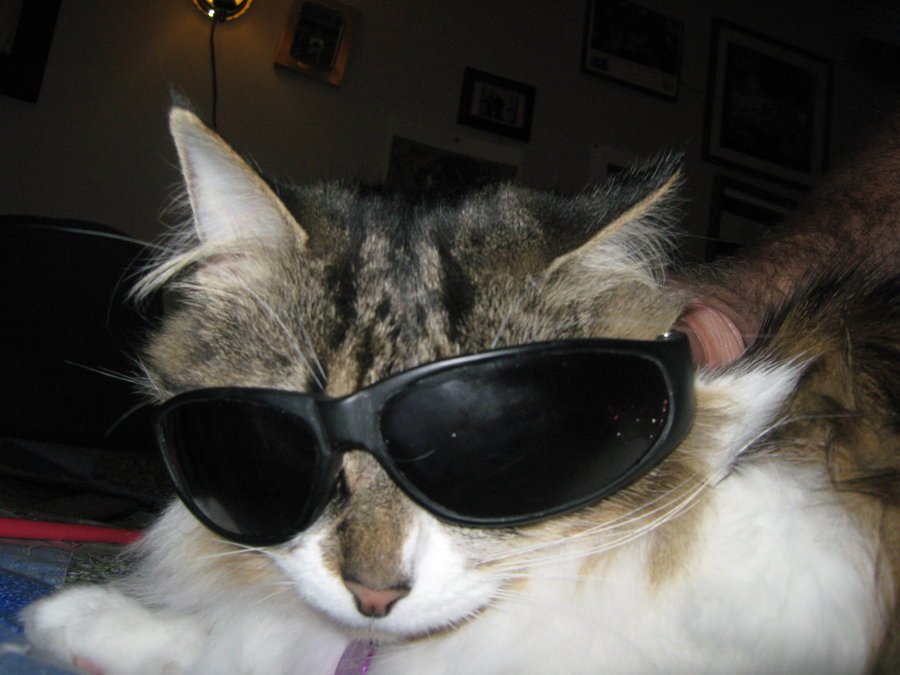 Image result for cat with sunglasses