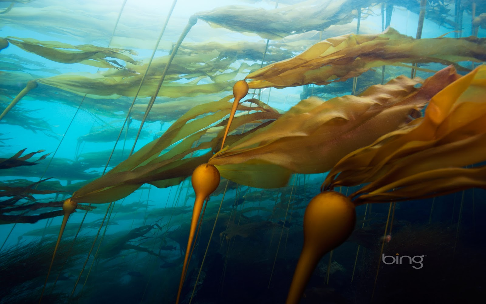 bull kelp forest off Hussar Point Browning Pass British Columbia 1600x1000