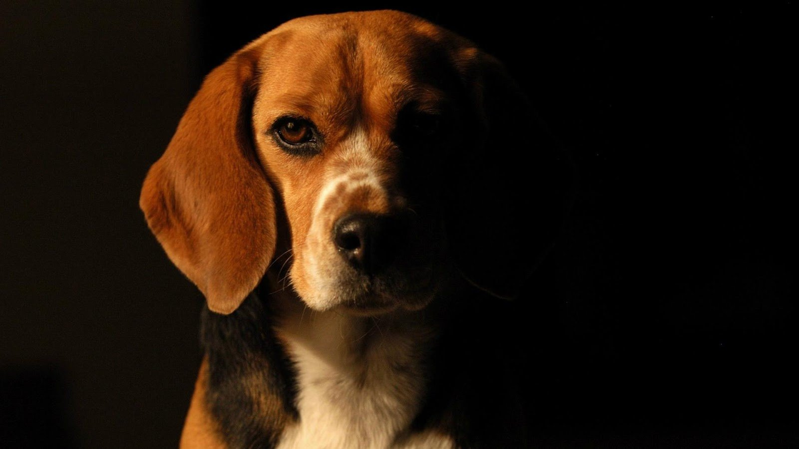 Beagle Dog HD Live Wallpaper   Android Apps on Google Play 1600x900