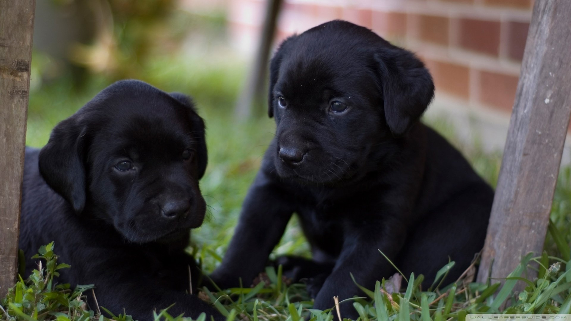 Pics Photos   Black Lab Puppy Images Hd Wallpapers 1920x1080