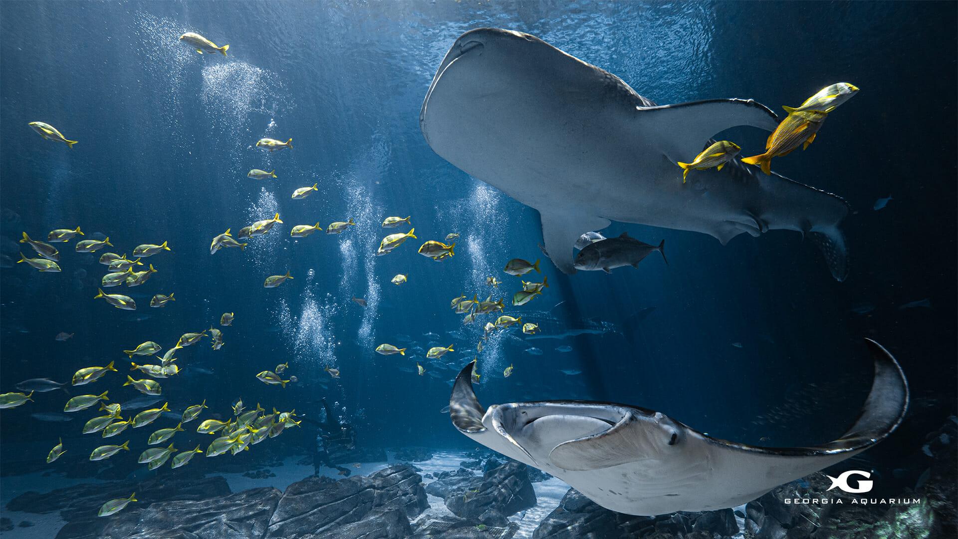 Digital Wallpapers Virtual Backgrounds from Georgia Aquarium 1920x1080