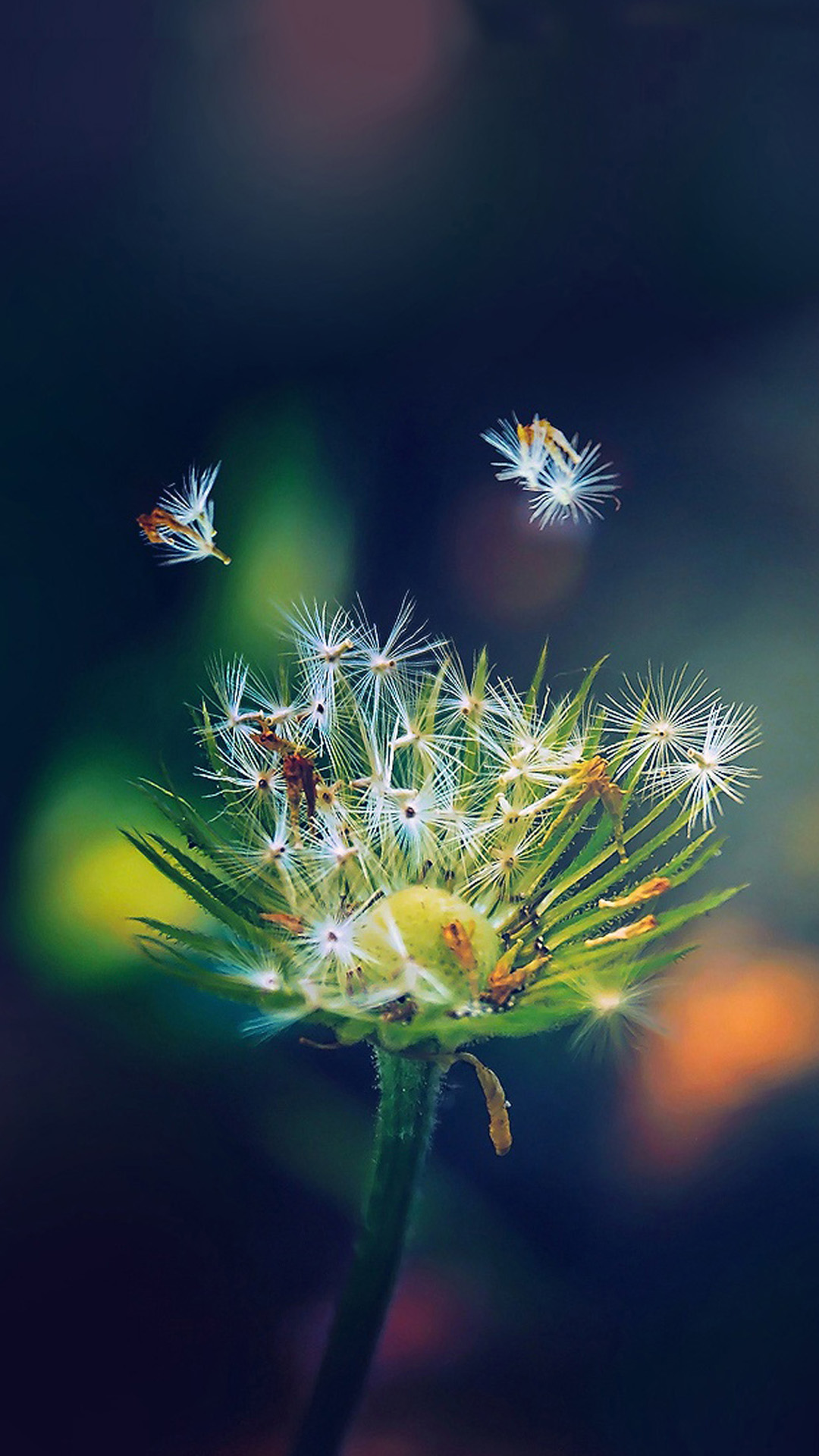 Dandelion Closeup Samsung Wallpapers, Samsung Galaxy S5, Galaxy S4 ...
