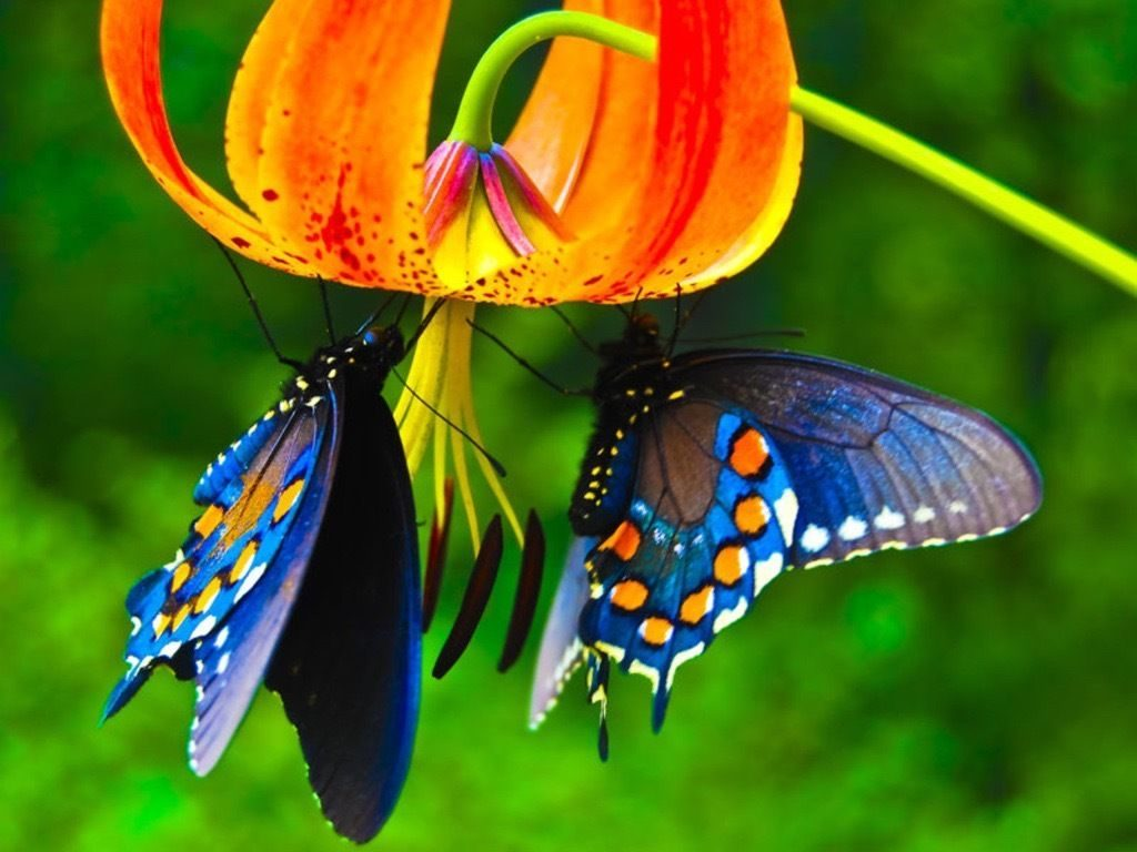 55 Colorful ButterflyHD Images Wallpapers Download 1024x768