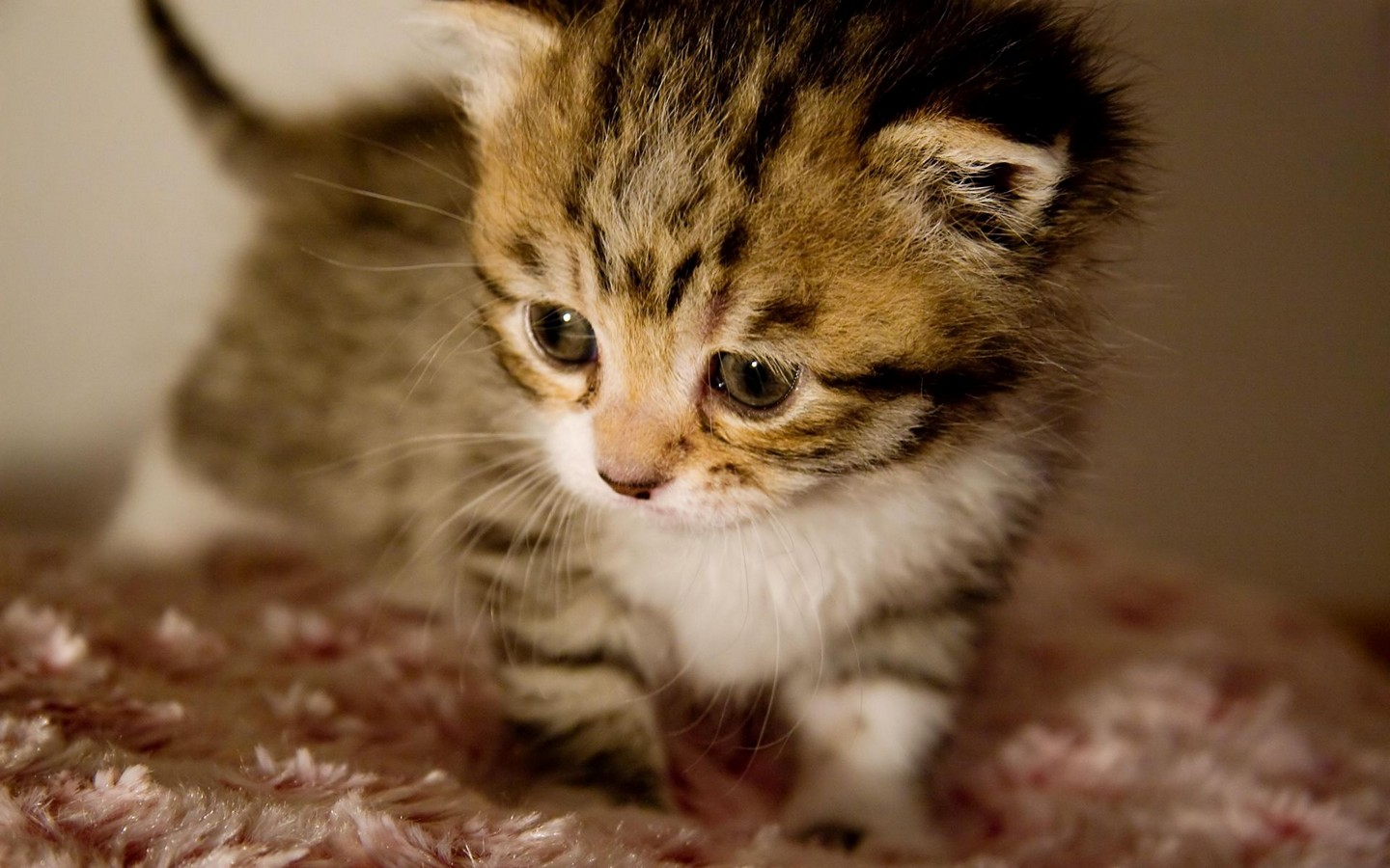 Cute Kittens   Pictures   The Wondrous Pics 1440x900