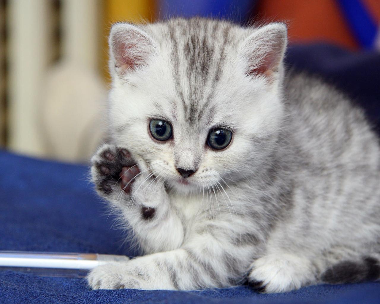 cute kitten saying hello 1280x1024