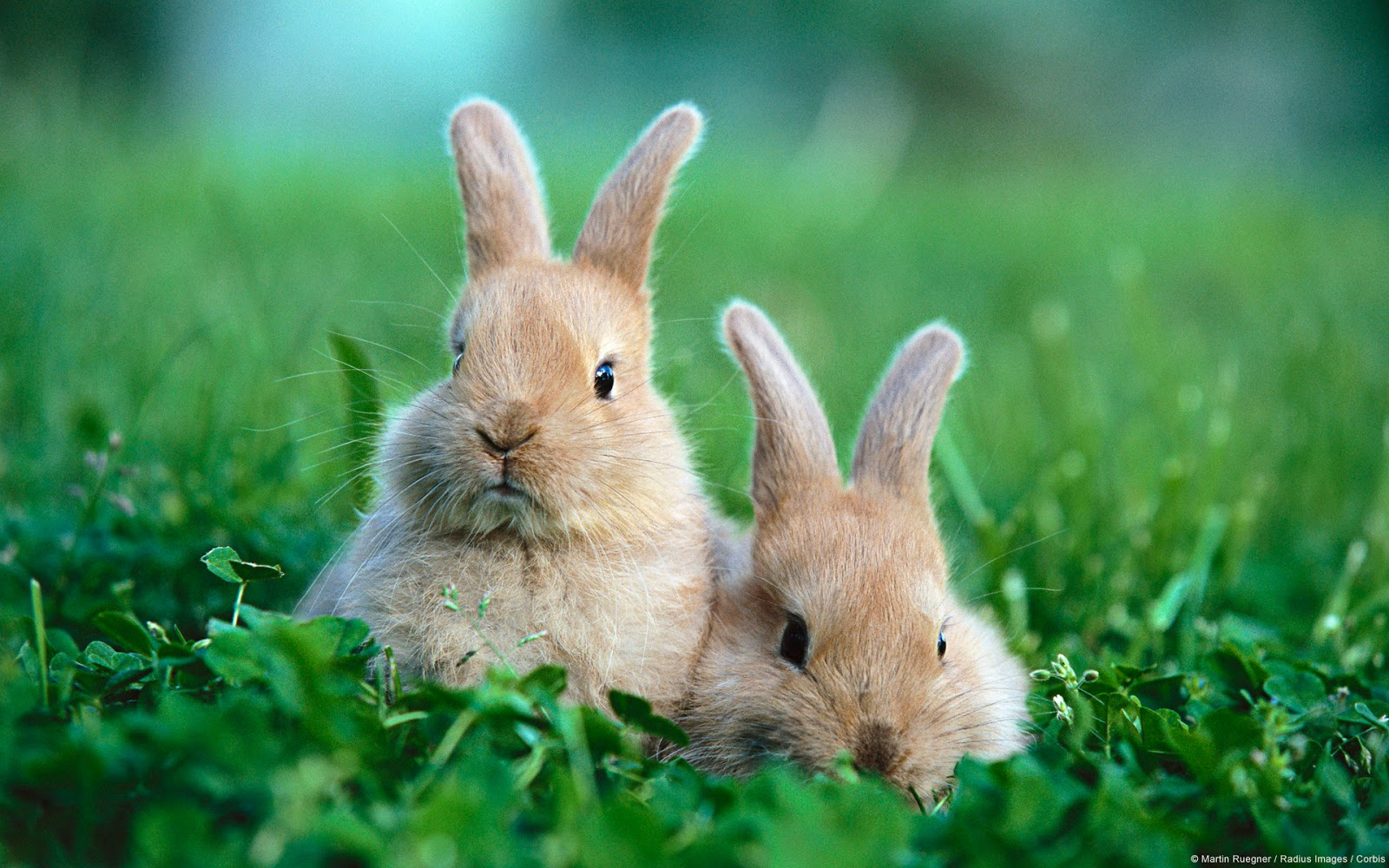 HD Wallpapers Downloads Beautiful Baby Rabbits Wallpapers 1600x1000
