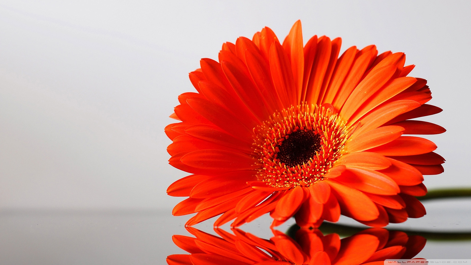 Gerbera wallpaper   832313 1920x1080