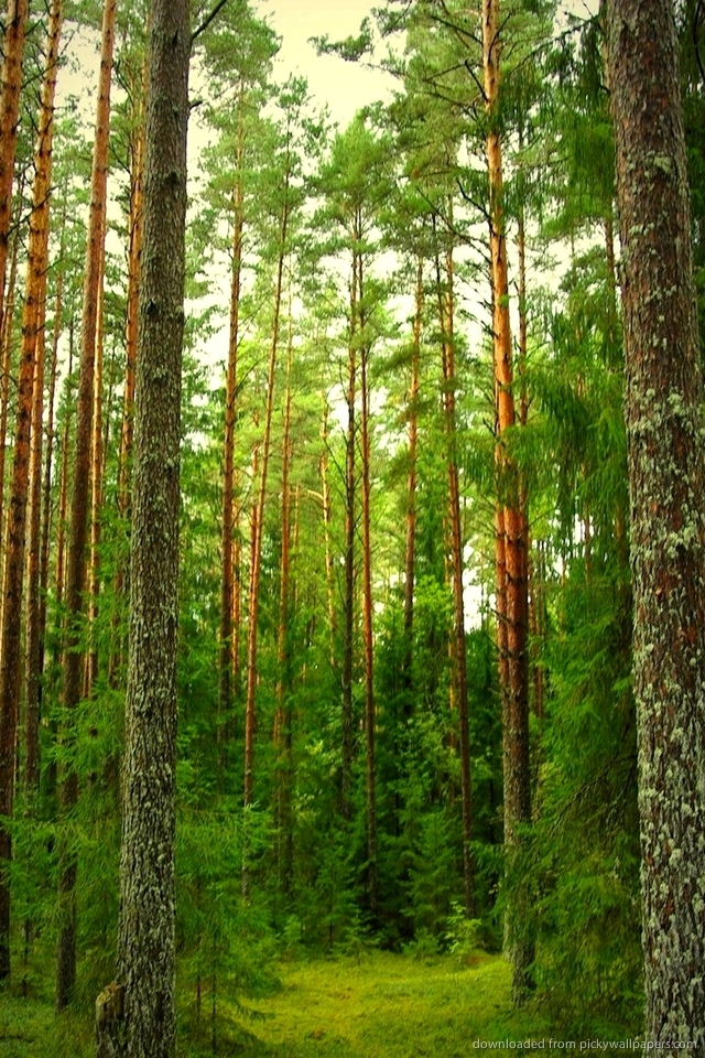 pine forest iphone wallpaper wallpapers trendingspace 640x960