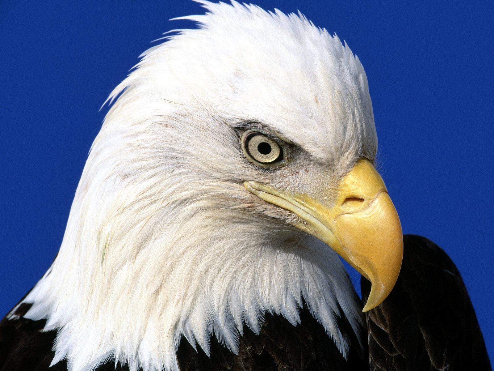 Noble Lead Bald Eagle Wallpapers HD Wallpapers 1600x1200