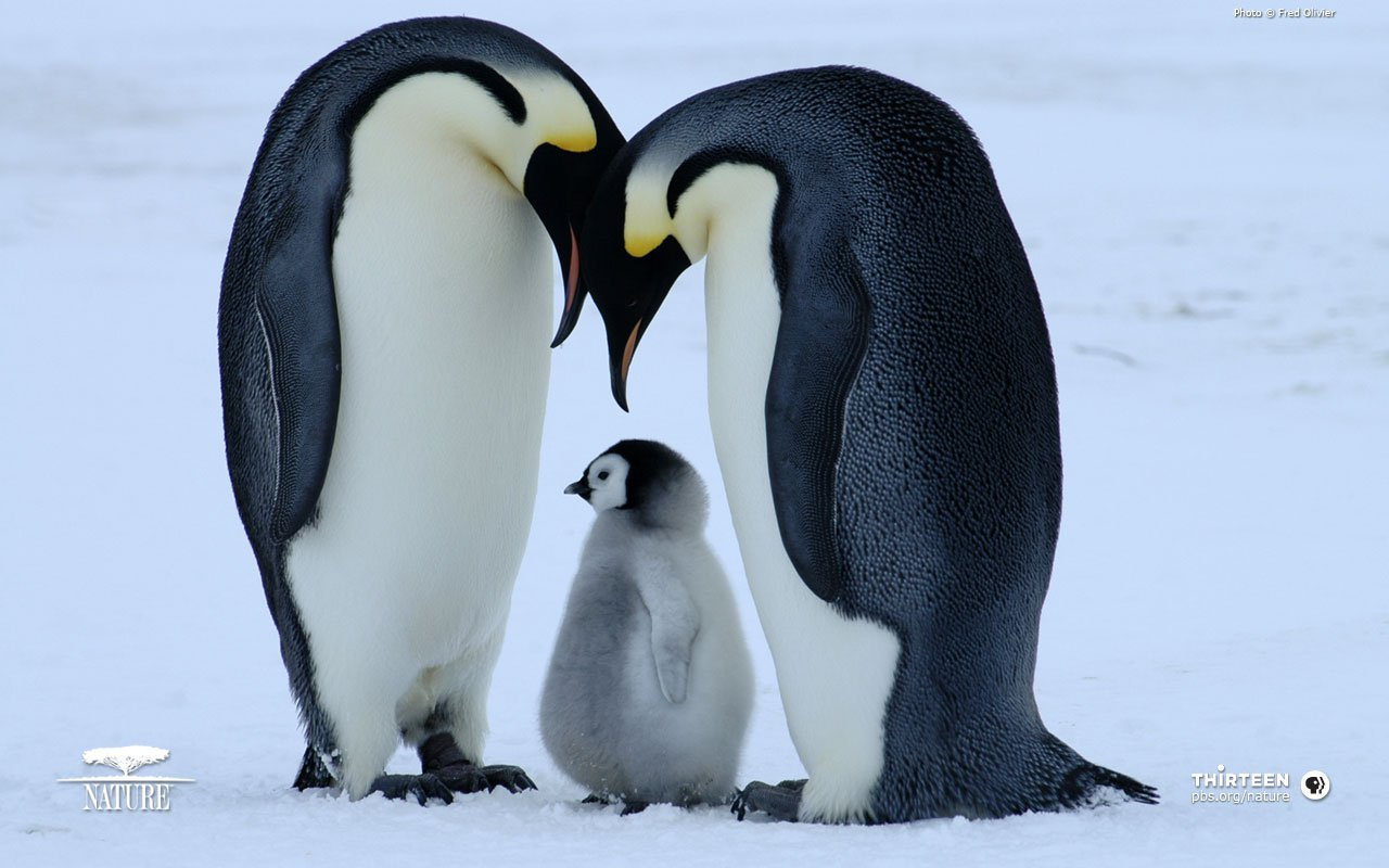 Cute Baby Penguins In Lov HD Wallpaper Background Images 1280x800