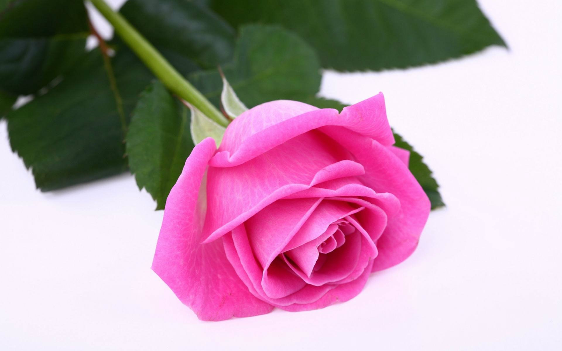 Free Download Download Most Beautiful Pink Rose Wallpaper Most Hd