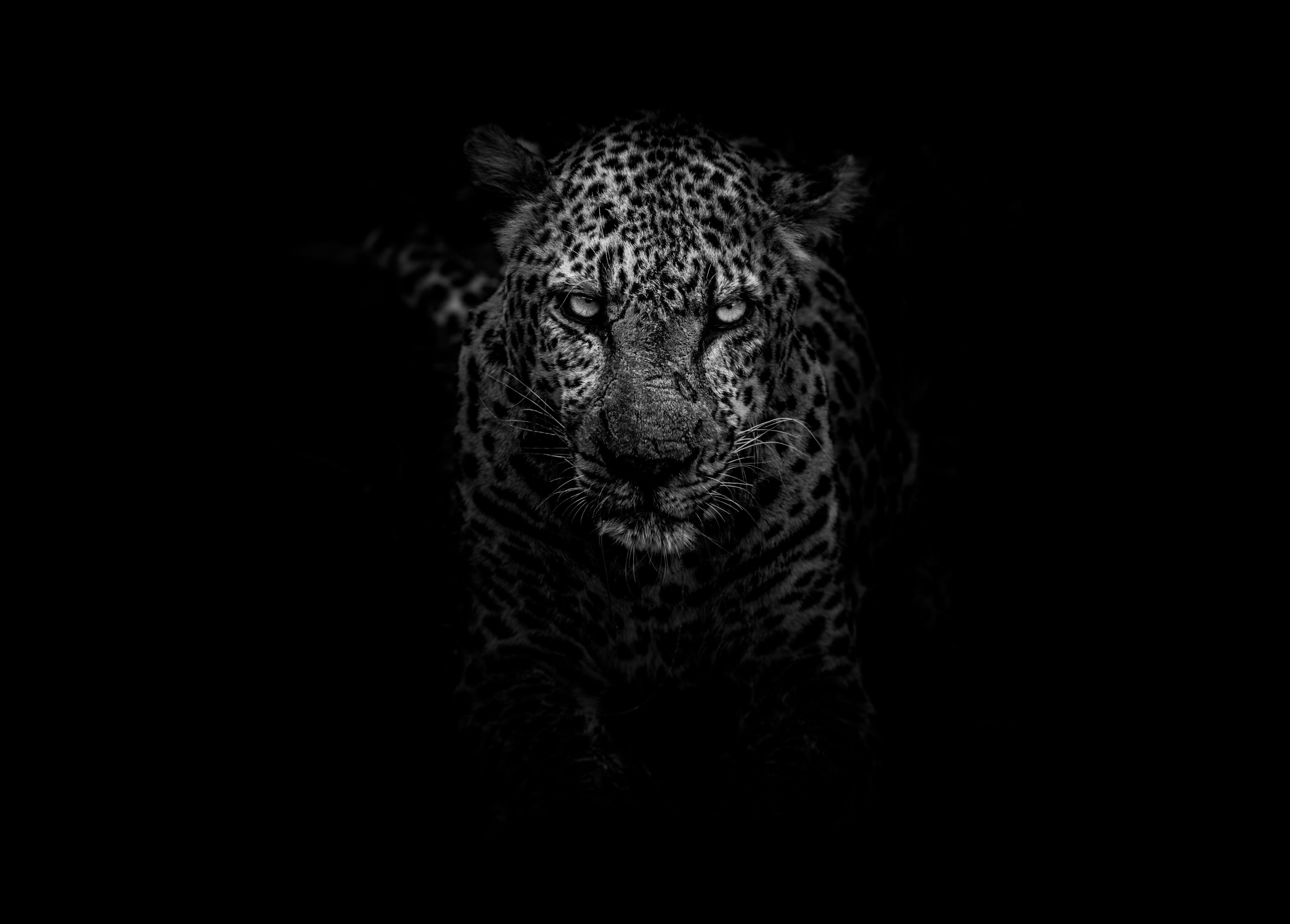 leopard animals dark hd monochrome black and white 4k 5k 5K 5498x3940