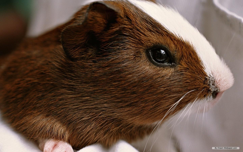 Pics Photos   Desktop Wallpapers Funny Guinea Pig 1440x900