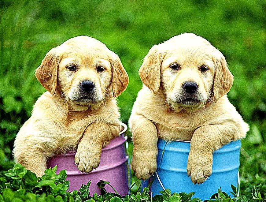 Nice Labrador Retriever puppies photo and wallpaper Beautiful 870x660