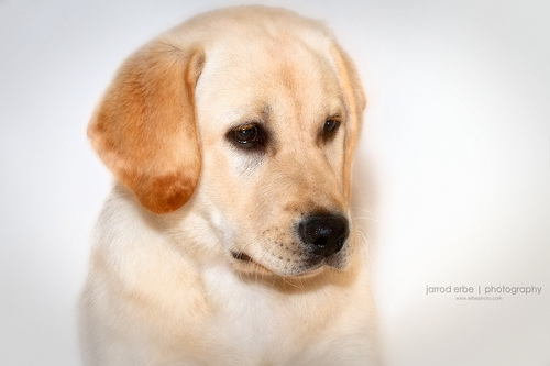 Yellow Labrador Puppy 500x333