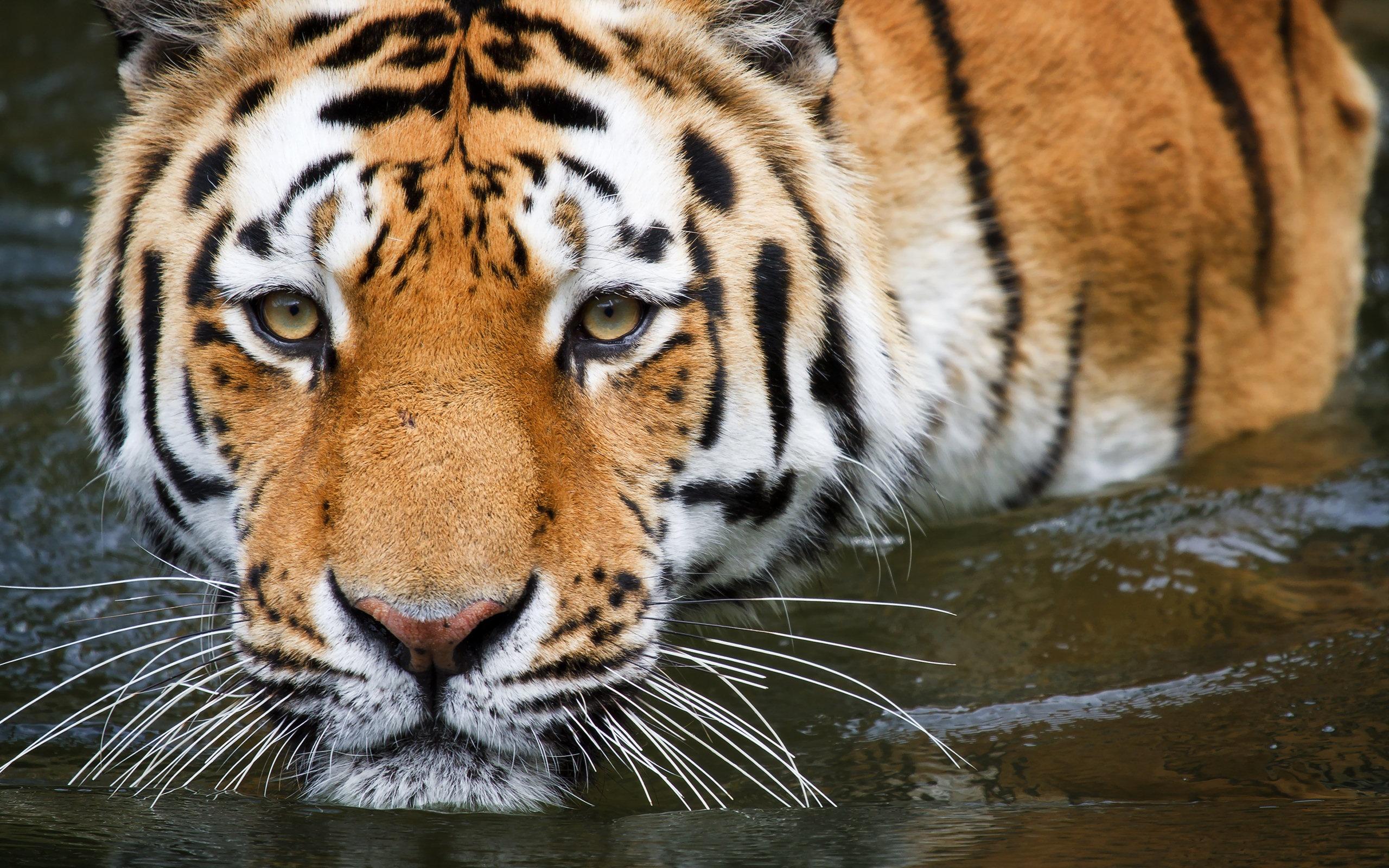 Bengal Tiger Wallpapers - WallpaperSafari