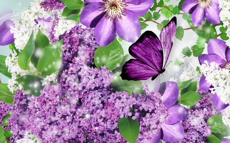HD Lilacs Butterfly Wallpaper Download   48866 800x500