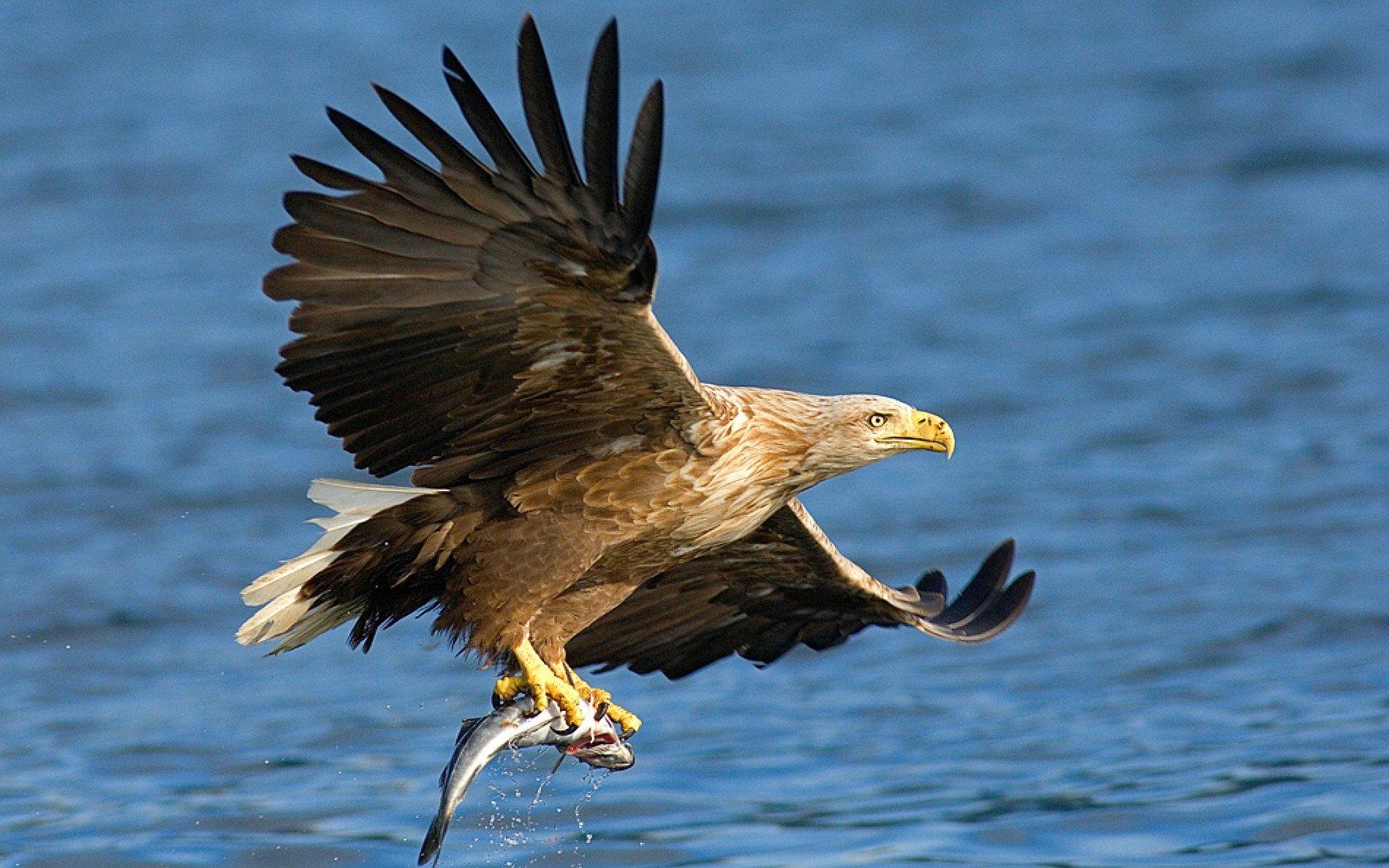 nature birds prey bald eagles hunting sea wallpaper background 1680x1050