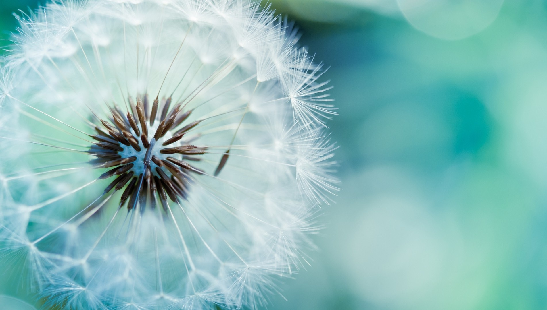 Dandelion Flowers Wallpapers HD Pictures One HD 1903x1080
