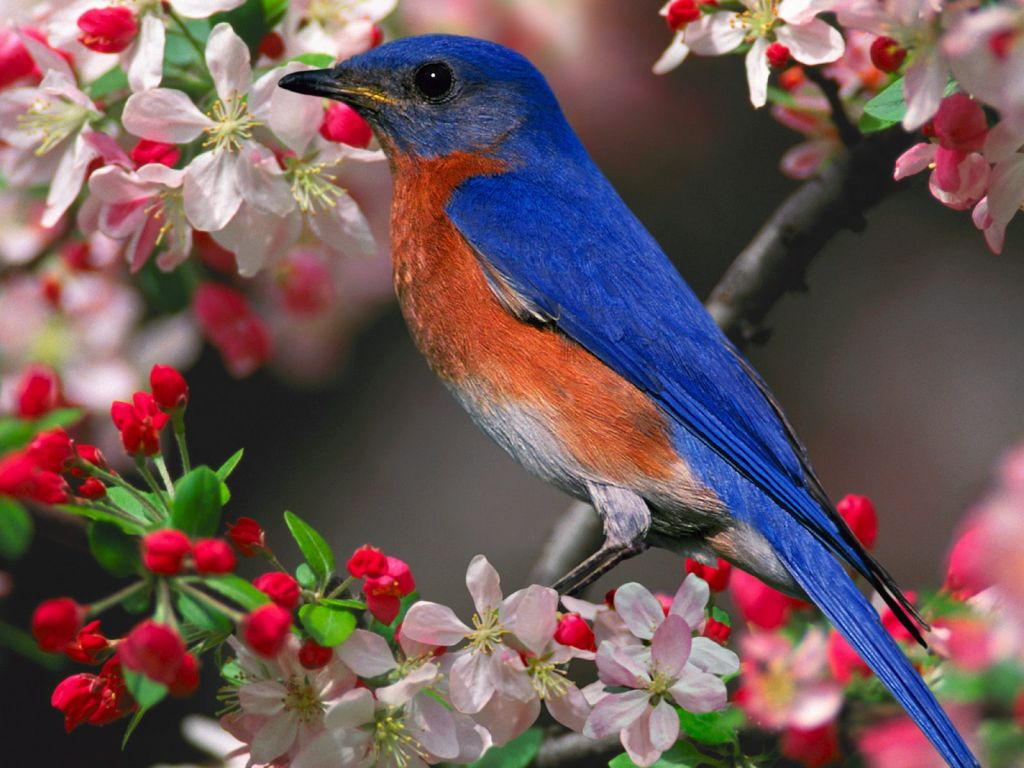 Blue Bird Pink Flowers Wallpaper 1024768   Birds Wallpapers 1024x768