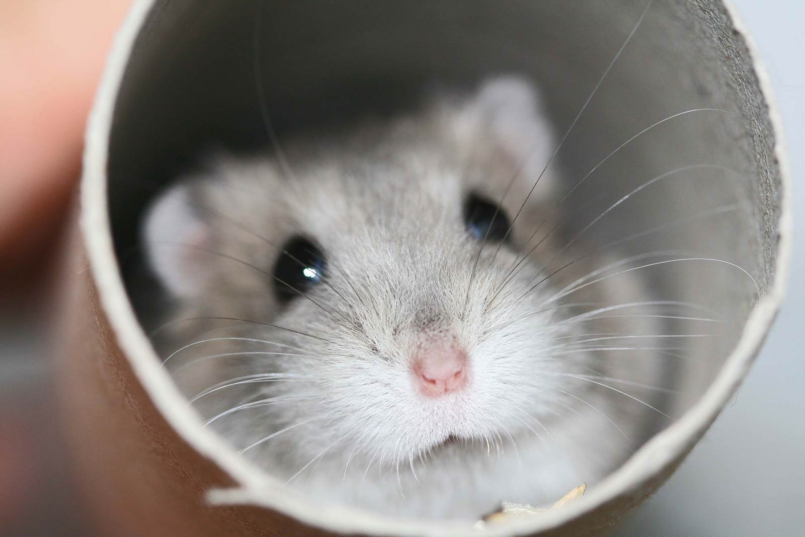 Hamster Wallpapers HD Wallpapers Early 1600x1067