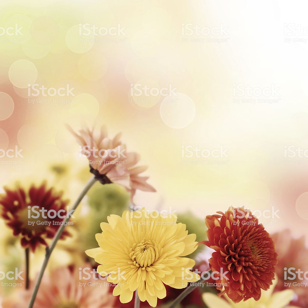 Colorful Mums Flowers On Warm Bokeh Background Stock Photo 1024x1024