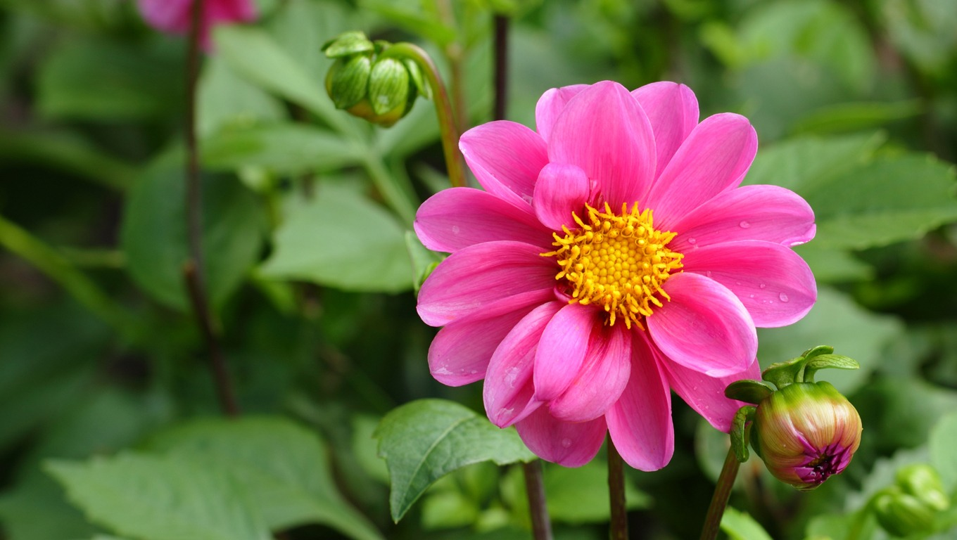 1360x768 wallpaper Dahlia Flower Wallpaper Background 1360x768