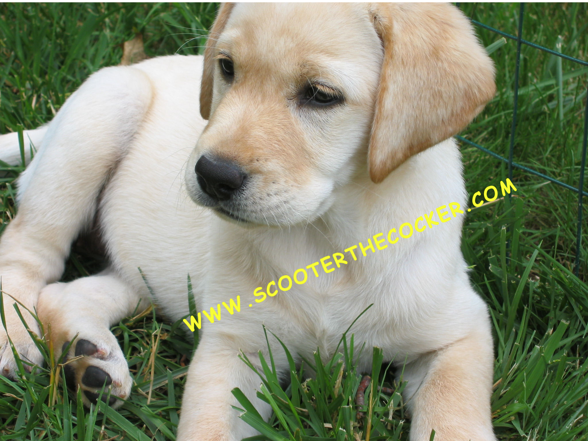 yellow lab puppy wallpaper - photo #23