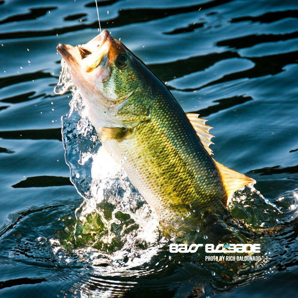 Largemouth Bass Wallpapers 1024x1024