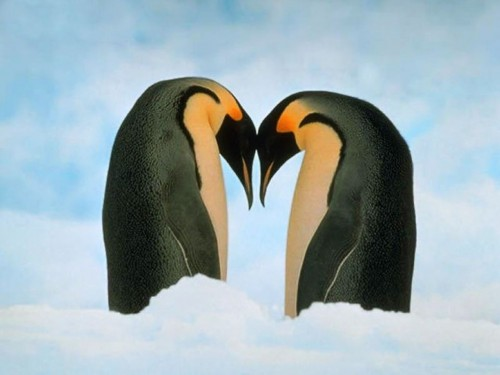 Loveheart Penguins Screensaver Screensavers   Download Loveheart 500x375
