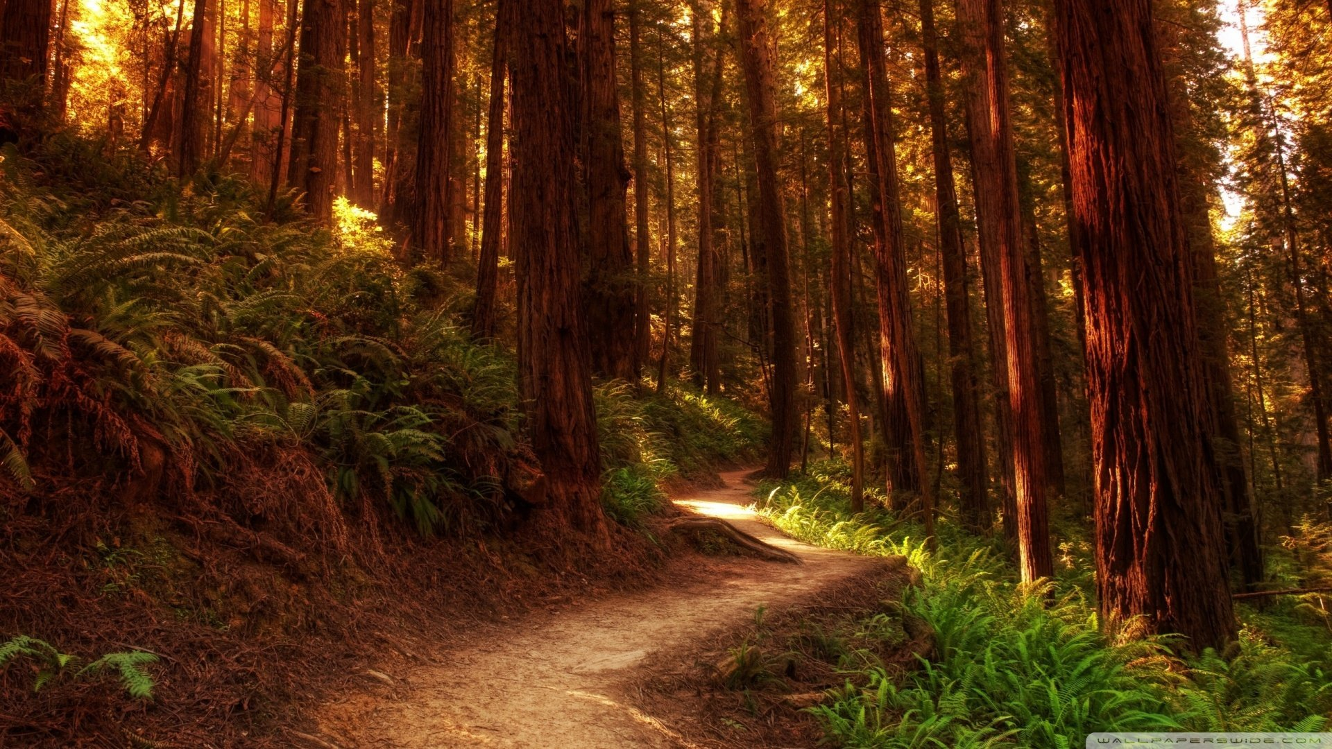 Redwoods Wallpaper 1920x1080