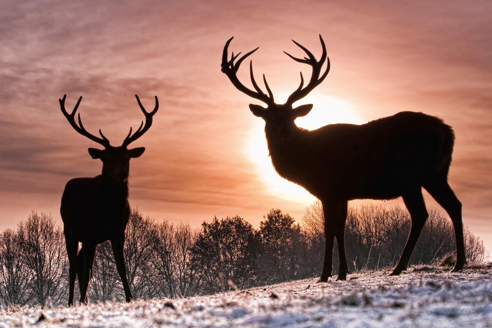 Deer wallpaper 1600x1067