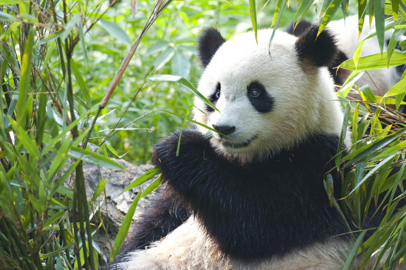 Panda Bears Live Buy Popular Panda Bears Live lots from China Panda 800x533