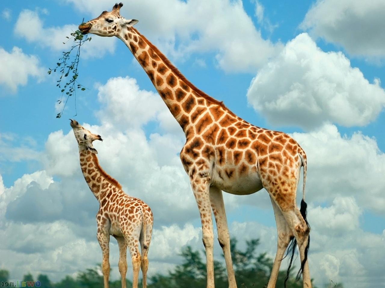 Baby Giraffe Tongu HD Wallpaper Background Images 1280x960