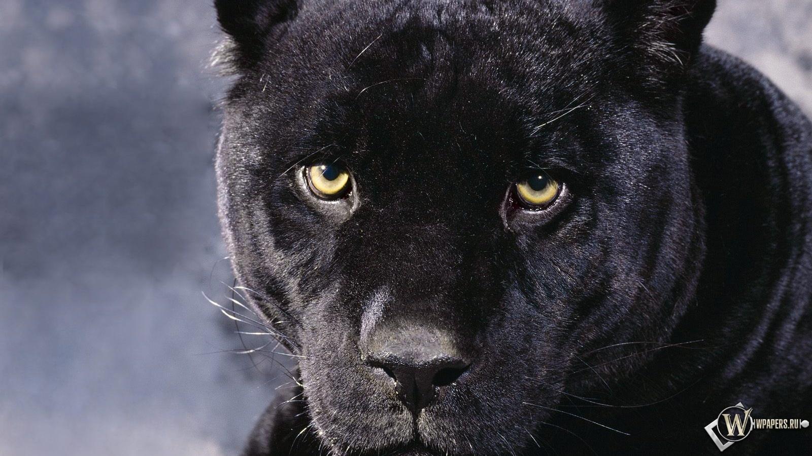 36 HD Imagem Black Panther Focinho Pantera Negra 1600x900